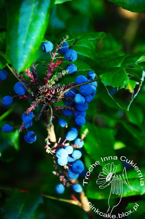 owoce mahonii są jadalne, mahonia fruit edible, oregon grape