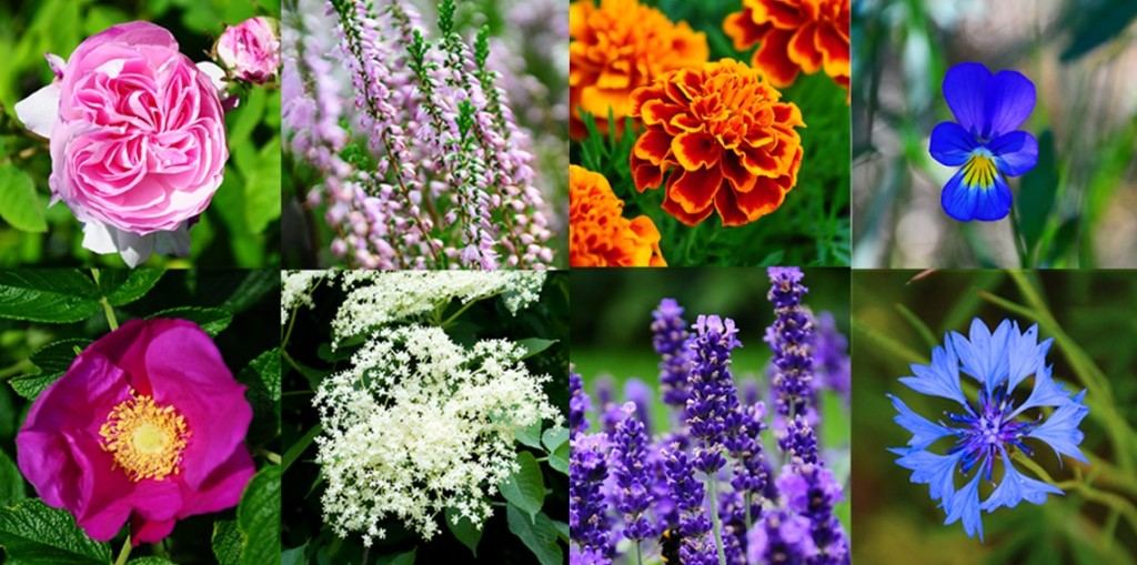 edible flowers, most healthy edible flowers, najzdrowsze jadalne kwiaty